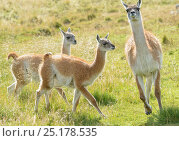 Guanaco (Lama guanicoe) adult and two juveniles running in grassland, Torres del Paine National Park, Chile. March. Стоковое фото, фотограф Jack Dykinga / Nature Picture Library / Фотобанк Лори
