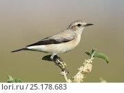 Купить «Desert wheatear (Oenanthe deserti) female perched, Oman, February.», фото № 25178683, снято 22 мая 2019 г. (c) Nature Picture Library / Фотобанк Лори