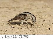 Купить «Eurasian wryneck (Jynx torquilla) feeding on ground, during spring migration, Oman, April.», фото № 25178703, снято 17 августа 2018 г. (c) Nature Picture Library / Фотобанк Лори