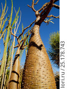Купить «Spiny tree trunk (Pachypodium sp) Berenty Reserve, Madagascar.», фото № 25178743, снято 21 сентября 2018 г. (c) Nature Picture Library / Фотобанк Лори