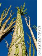 Купить «Madagascar ocotillo (Alluaudia procera) Berenty Reserve, Madagascar.», фото № 25178759, снято 20 июля 2018 г. (c) Nature Picture Library / Фотобанк Лори