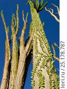 Купить «Madagascar ocotillo (Alluaudia procera) Berenty Reserve, Madagascar.», фото № 25178787, снято 20 июля 2018 г. (c) Nature Picture Library / Фотобанк Лори