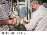 Купить «Veterinarian Dewi Jones injecting antibiotics into the ear of a Charolais calf held still in a crush by a farmer, Wiltshire, UK, September 2014.   Model released.», фото № 25178819, снято 23 июля 2018 г. (c) Nature Picture Library / Фотобанк Лори