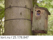Купить «Edible / Fat Dormouse (Glis glis) peering out of a nestbox attached to a Beech treetrunk in woodland where this European species has become naturalised, Buckinghamshire, UK, August.», фото № 25178847, снято 24 октября 2018 г. (c) Nature Picture Library / Фотобанк Лори