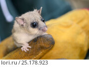 Купить «Close up of an adult Edible / Fat Dormouse (Glis glis) held in a leather glove during a monitoring project in woodland where this European species has...», фото № 25178923, снято 24 октября 2018 г. (c) Nature Picture Library / Фотобанк Лори