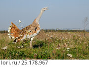 Low wide angle close up of an adult male Great Bustard (Otis tarda) calling, with another flying in the background. Part of reintroduction project of birds... Стоковое фото, фотограф Nick Upton / Nature Picture Library / Фотобанк Лори