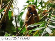 Купить «Golden bamboo lemur (Hapalemur aureus) female wearing radio collar, feeding on bamboo. Ranomafana National Park, Madagascar. Critically Endangered species.», фото № 25179643, снято 21 сентября 2018 г. (c) Nature Picture Library / Фотобанк Лори