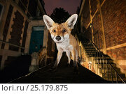 Young urban Red fox (Vulpes vulpes) standing on a wall at night. Bristol, UK, September. Nominated in the Melvita Nature Images Awards competition 2014. Стоковое фото, фотограф Sam Hobson / Nature Picture Library / Фотобанк Лори