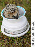 Купить «European hedgehog (Erinaceus europaeus) hand reared orphan sitting in weighing scale, Jarfalla, Sweden.», фото № 25180027, снято 20 января 2019 г. (c) Nature Picture Library / Фотобанк Лори