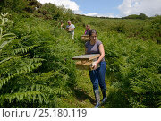 Купить «Captive-bred Harvest mice (Micromys minutus) in cages being carried down a track to be released, Kilkhampton Common, Cornwall, UK, June. Model released.», фото № 25180119, снято 24 октября 2018 г. (c) Nature Picture Library / Фотобанк Лори