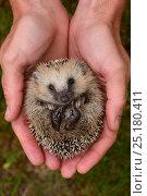 Купить «European hedgehog (Erinaceus europaeus) hand reared orphan held in human hands, Jarfalla, Sweden. August. Model released.», фото № 25180411, снято 20 января 2019 г. (c) Nature Picture Library / Фотобанк Лори