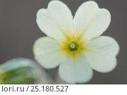 Купить «Oxlip (Primula elatior) flower, Vosges, France, March.», фото № 25180527, снято 21 августа 2018 г. (c) Nature Picture Library / Фотобанк Лори