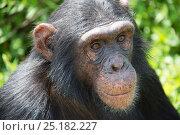 Купить «Chimpanzee (Pan troglodytes) portrait, Ngamba Island Chimpanzee Sanctuary, Lake Victoria, Uganda.», фото № 25182227, снято 25 марта 2019 г. (c) Nature Picture Library / Фотобанк Лори