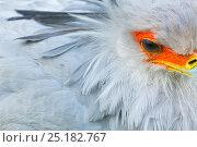 Secretarybird / Secretary Bird (Sagittarius serpentarius) close up, captive endemic to Africa. Стоковое фото, фотограф Juan Carlos Munoz / Nature Picture Library / Фотобанк Лори
