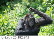 Купить «Chimpanzee (Pan troglodytes) scratching under its arms, Ngamba Island Chimpanzee Sanctuary, Lake Victoria, Uganda.», фото № 25182843, снято 25 марта 2019 г. (c) Nature Picture Library / Фотобанк Лори