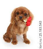 Купить «Ruby Cavalier King Charles Spaniel pup, Flame, age 12 weeks hing a red rose.», фото № 25183543, снято 24 февраля 2019 г. (c) Nature Picture Library / Фотобанк Лори