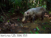Bearded pig (Sus barbatus) drinking from a pool of water - wide angle perspective. Bako National Park, Sarawak, Borneo, Malaysia. Стоковое фото, фотограф Anup Shah / Nature Picture Library / Фотобанк Лори