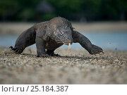 Купить «Komodo Dragon (Varanus komodoensis) walking on beach, Komodo National Park, Indonesia.», фото № 25184387, снято 10 июля 2020 г. (c) Nature Picture Library / Фотобанк Лори