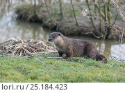 Купить «Otter (Lutra lutra), Captive. Occurs in Europe, Asia and North Africa.», фото № 25184423, снято 20 марта 2019 г. (c) Nature Picture Library / Фотобанк Лори