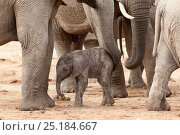 African elephant (Loxodonta africana) newborn calf amongst the herd, Addo Elephant National Park, South Africa, February. Стоковое фото, фотограф Ann & Steve Toon / Nature Picture Library / Фотобанк Лори