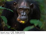 Купить «Eastern chimpanzee (Pan troglodytes schweinfurtheii) female 'Sandi' aged 37 years feeding on Mbula fruit. Gombe National Park, Tanzania.», фото № 25184815, снято 22 марта 2019 г. (c) Nature Picture Library / Фотобанк Лори