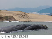 Купить «Southern right whale (Eubalaena australis) very near to a beach. Praia da Gamboa, within the Right Whale Environmental Protection Area, Santa Catarina, Brazil, September.», фото № 25185095, снято 21 марта 2019 г. (c) Nature Picture Library / Фотобанк Лори