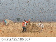 Купить «People catching Migratory locusts (Locusta migratoria capito) for human consumption with mosquito nets at early morning when they can not fly long distances...», фото № 25186507, снято 27 апреля 2018 г. (c) Nature Picture Library / Фотобанк Лори