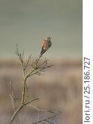 Купить «Common kestrel (Falco tinnunculus) adult male perched in dead tree, UK, December.», фото № 25186727, снято 15 декабря 2017 г. (c) Nature Picture Library / Фотобанк Лори