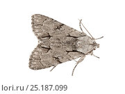 Купить «Grey Dagger (Acronicta psi) moth, Peak District National Park, Derbyshire, UK. June.», фото № 25187099, снято 22 июля 2018 г. (c) Nature Picture Library / Фотобанк Лори