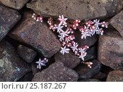 English Stonecrop (Sedum anglicum) Isle of Mull, Scotland, UK. Стоковое фото, фотограф Alex Hyde / Nature Picture Library / Фотобанк Лори
