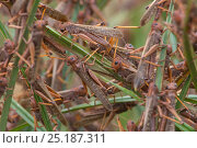 Купить «Migratory Locust (Locusta migratoria capito) adult animals feeding and resting in grass, near Isalo National Park, Madagascar. August 2013.», фото № 25187311, снято 11 декабря 2017 г. (c) Nature Picture Library / Фотобанк Лори