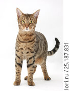 Купить «Bengal male cat standing.», фото № 25187831, снято 28 мая 2020 г. (c) Nature Picture Library / Фотобанк Лори