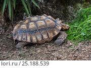 African spurred tortoise (Geochelone sulcata) Cabarceno Park, Cantabria, Spain. Captive, occurs in the Sahara desert, northern Africa. Стоковое фото, фотограф Philippe Clement / Nature Picture Library / Фотобанк Лори