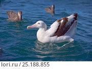 Купить «Wandering albatross (Diomedea exulans) on sea, Kaikoura, New Zealand, February.», фото № 25188855, снято 21 октября 2018 г. (c) Nature Picture Library / Фотобанк Лори