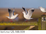 Купить «Black headed gulls (Larus ridibundus) fighting on gate, Norfolk, England, UK, January.», фото № 25188939, снято 20 июля 2018 г. (c) Nature Picture Library / Фотобанк Лори