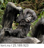 Купить «Mountain Gorilla (Gorilla beringei beringei) baby playing with mother's foot, Rwanda, Africa.», фото № 25189923, снято 17 ноября 2019 г. (c) Nature Picture Library / Фотобанк Лори