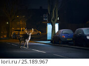 Fallow deer (Dama dama) buck crossing road in front of bus stop. London, UK. January. Стоковое фото, фотограф Sam Hobson / Nature Picture Library / Фотобанк Лори