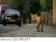 Urban Red fox (Vulpes vulpes), adult male (dog). Bristol, UK. August. Редакционное фото, фотограф Sam Hobson / Nature Picture Library / Фотобанк Лори
