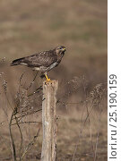 Купить «Common Buzzard (Buteo buteo) on fence post, Cremlingen, Lower Saxony, Germany, March.», фото № 25190159, снято 7 декабря 2019 г. (c) Nature Picture Library / Фотобанк Лори