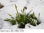 Купить «Spring Snowflake (Leucojum vernum) in snow, Lammer Holz, Brunswick, Lower Saxony, Germany, March.», фото № 25190175, снято 23 октября 2019 г. (c) Nature Picture Library / Фотобанк Лори