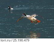 Купить «Goosander (Mergus merganser) male in flight, Lake Geneva, Switzerland, March.», фото № 25190479, снято 27 мая 2020 г. (c) Nature Picture Library / Фотобанк Лори