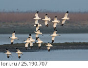 Купить «Avocets (Recurvirostra avosetta) in flight, Cley Marshes Reserve, Norfolk, England, UK, March.», фото № 25190707, снято 18 февраля 2020 г. (c) Nature Picture Library / Фотобанк Лори