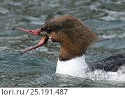 Купить «Goosander (Mergus merganser) female calling, Lake Geneva, Switzerland, March.», фото № 25191487, снято 27 мая 2020 г. (c) Nature Picture Library / Фотобанк Лори