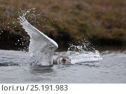 Купить «Snowy owl (Bubo scandiacus) fledgling which has fallen in water, Wrangel Island, Far Eastern Russia, August.», фото № 25191983, снято 21 октября 2018 г. (c) Nature Picture Library / Фотобанк Лори