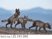Купить «Arctic foxes (Vulpes lagopus) juveniles playing, biting tail,  Wrangel Island, Far Eastern Russia, August.», фото № 25191995, снято 23 октября 2019 г. (c) Nature Picture Library / Фотобанк Лори