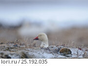 Купить «Snow goose (Chen caerulescens caerulescens) resting, with Wrangel Island Lemming (Dicrostonyx vinogradovi), Wrangel Island, Far Eastern Russia, June.», фото № 25192035, снято 17 июня 2019 г. (c) Nature Picture Library / Фотобанк Лори