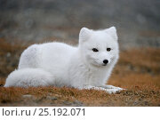 Купить «Arctic fox (Vulpes lagopus) in winter fur, resting, Wrangel Island, Far Eastern Russia, September.», фото № 25192071, снято 19 января 2020 г. (c) Nature Picture Library / Фотобанк Лори