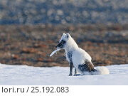Купить «Arctic fox (Vulpes lagopus) mid moult from winter to summer fur, with feather in mouth, Wrangel Island, Far Eastern Russia, June.», фото № 25192083, снято 8 декабря 2019 г. (c) Nature Picture Library / Фотобанк Лори
