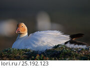 Купить «Snow goose (Chen caerulescens caerulescens) with rusty orange face from iron rich soil in which it forages. Wrangel Island, Far Eastern Russia, June.», фото № 25192123, снято 27 июня 2019 г. (c) Nature Picture Library / Фотобанк Лори