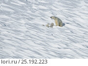 Купить «Polar bear (Ursus maritimus) mother with three young cubs, Wrangel Island, Far Eastern Russia, March.», фото № 25192223, снято 27 июня 2019 г. (c) Nature Picture Library / Фотобанк Лори